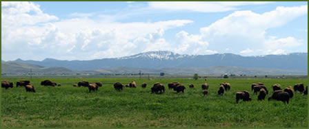 Lindner Grazing Bison