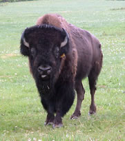 Lindner's 7 Year Old Bison Bull